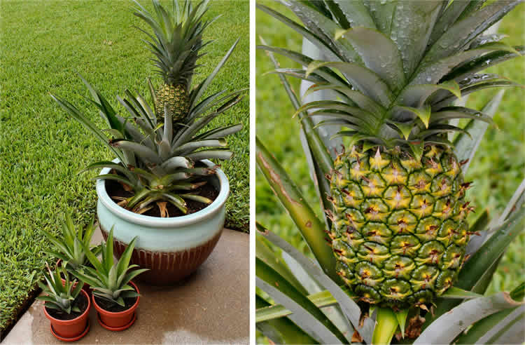 Easy: How to grow a pineapple tree at home
